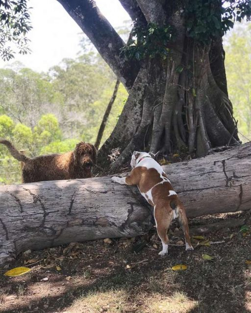 Two dogs playing with a tree trunk
