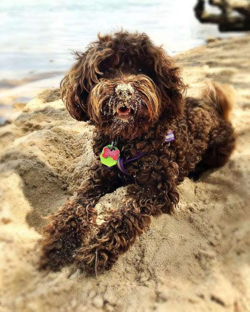 Happy dog at beach with sandy nose
