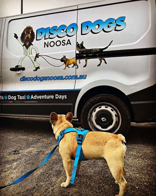 Dog looking a transport van for Disco Dogs Noosa