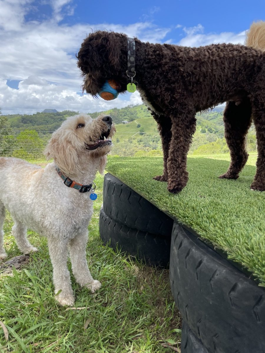 Dog with ball in mouth on obstacle course with happy dog looking up
