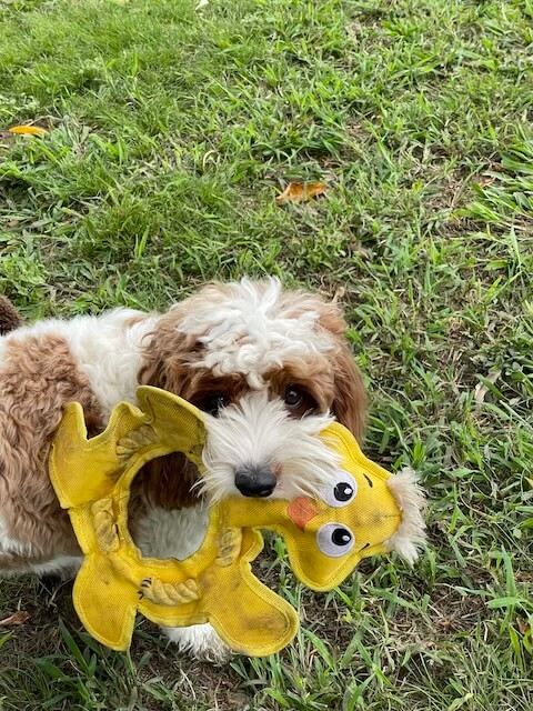 Dog playing with toy duck