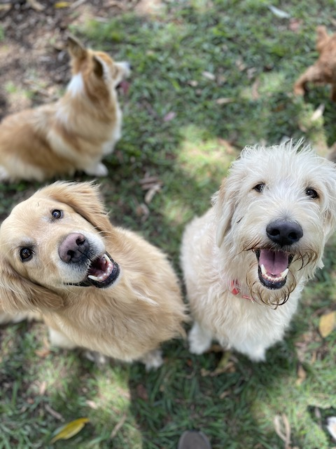 Two happy dogs and one dog in background looking around